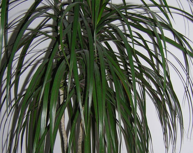 25 BLUE DRACAENA ( Spikes / Broad Leaved Cabbage Tree / Mountain Cabbage ) Cordyline Indivisa Flower Seeds