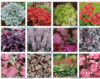 1200 Mixed Colors CORAL BELLS HEUCHERA Shade Flower Seeds *Comb S/H