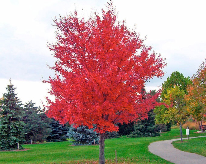 25 SIBERIAN MAPLE TREE Acer Ginnala Seeds Red Leaves *Comb S/H