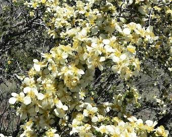 8 Oz BULK STANSBURY CLIFFROSE Purshia Stansburiana Cliff Rose Native Desert Shrub White & Yellow Flower Seeds - 1/2 Lb Pound Approx 32,500