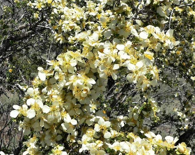 40 STANSBURY CLIFFROSE Purshia Stansburiana Cliff Rose Native Desert Shrub White & Yellow Flower Seeds