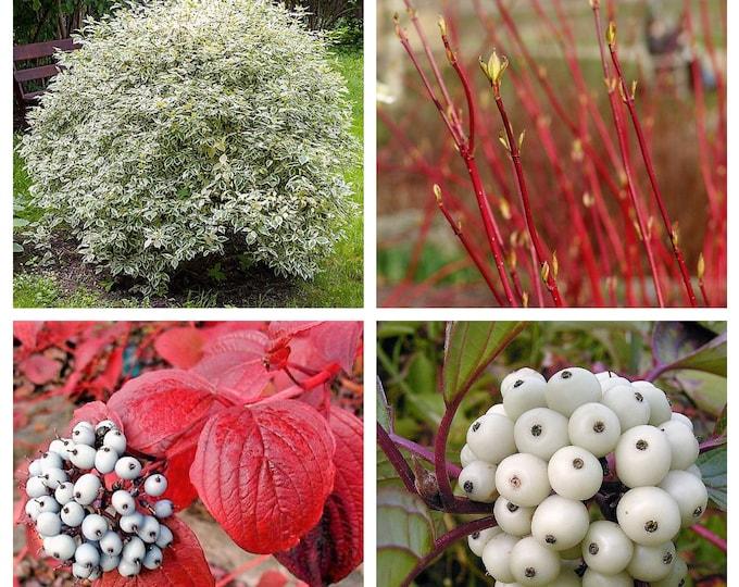 25 FIRE and ICE DOGWOOD Cornus Alba Shrub Tree Variegated Red Bark White Berry & Flower Seeds