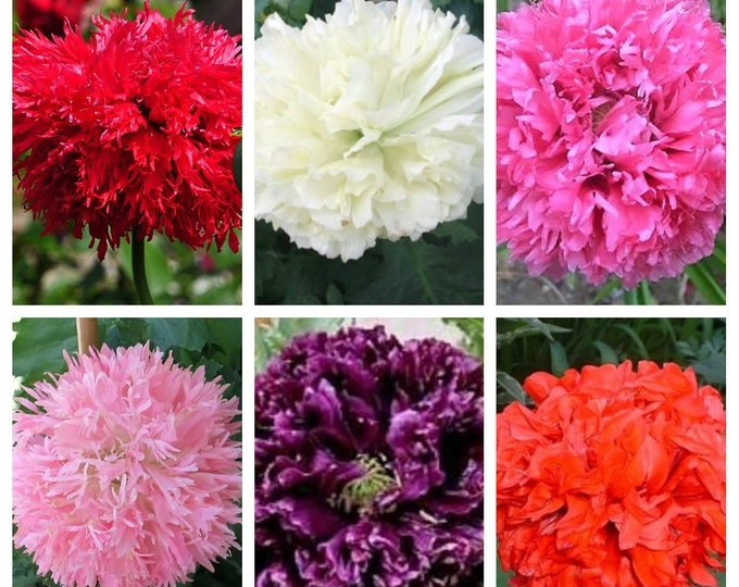 250 Organic PEONY POPPY MIX Papaver Paeoniflorum Mixed Colors Red, White, Pink, Black, Purple, Salmon, Bronze, Lilac, & Bicolor Flower Seeds