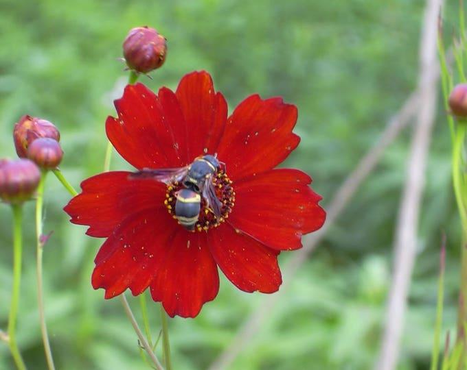 500 RED Dwarf PLAINS COREOPSIS Coreopsis Tinctoria Flower Seeds