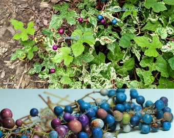 10 Variegated PORCELAIN BERRY VINE Ampelopsis Brevipedunculata Elegans Ampelopsis Glandulosa Amur Peppervine Blue Pink Purple Berries Seeds