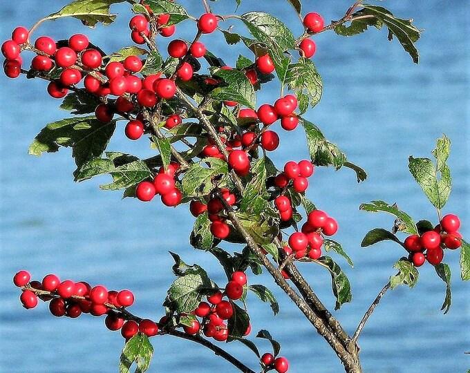 50 WINTERBERRY Holly Ilex Verticillata - Candian Holly  / Fever Bush / Black Alder Tree Shrub Red Berry White Flower Seeds