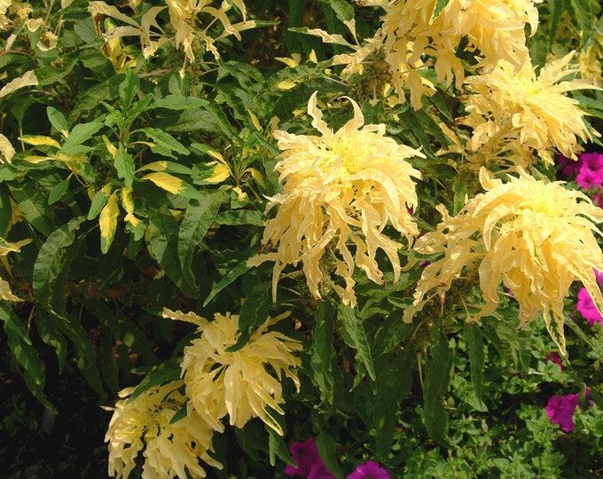 50 AURORA YELLOW AMARANTHUS Tricolor Josephs Coat Flower Seeds *Comb S/H