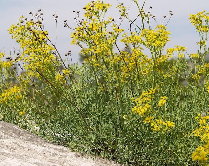 50 YELLOW RUE (Herb of Grace / Common Rue) Ruta Graveolens Herb Flower Seeds