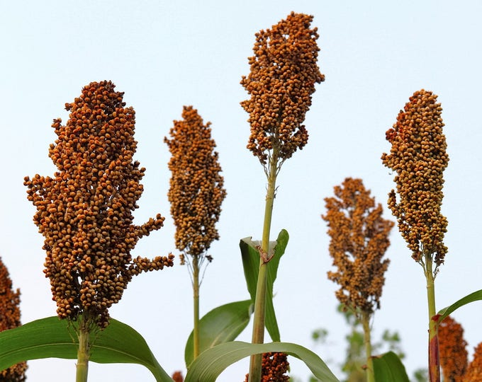 50 DELLA SORGHUM Bicolor Syrup Flour Grain Vegetable Seeds *Combined Shipping!