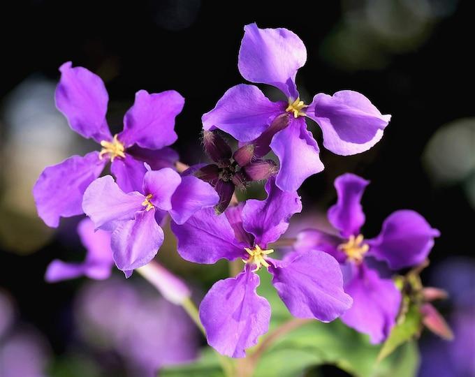 "500 Purple FEBRUARY ORCHID Violet Cress Orychophragmus Violaceus 2"" Flower Edible Vegetable Seeds"