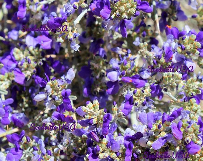 10 DESERT SMOKE TREE Psorothamnus Dalea Spinosa Smokethorn Shrub Smoketree Indigobush Indigo Blue Flower Seeds