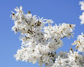 """5 STAR MAGNOLIA Stellata TREE Seeds - Fragrant White to Pink Big 4"""" Wide Flowers"""