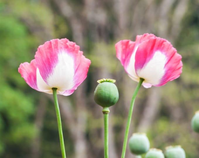 200 Organic AMPHORA POPPY Pink & White Papaver Somniferum Flower Seeds *Flat Shipping Rate