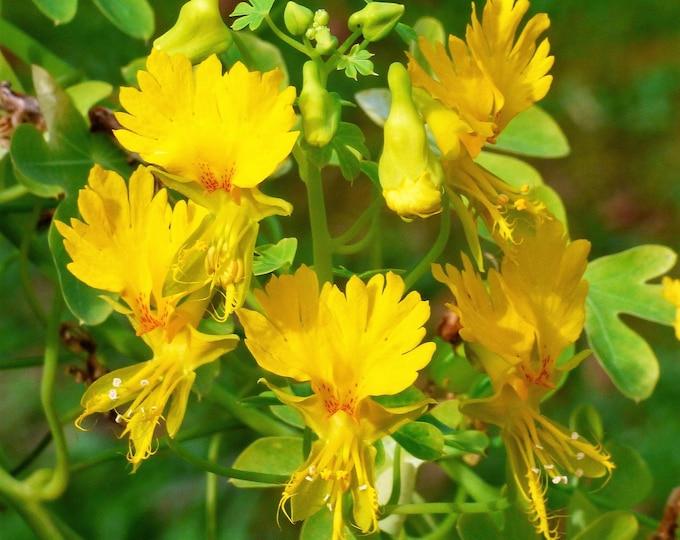 10 CANARY CREEPER NASTURTIUM Vine Tropaeolum Peregrinum Yellow Canarybird Flower Seeds