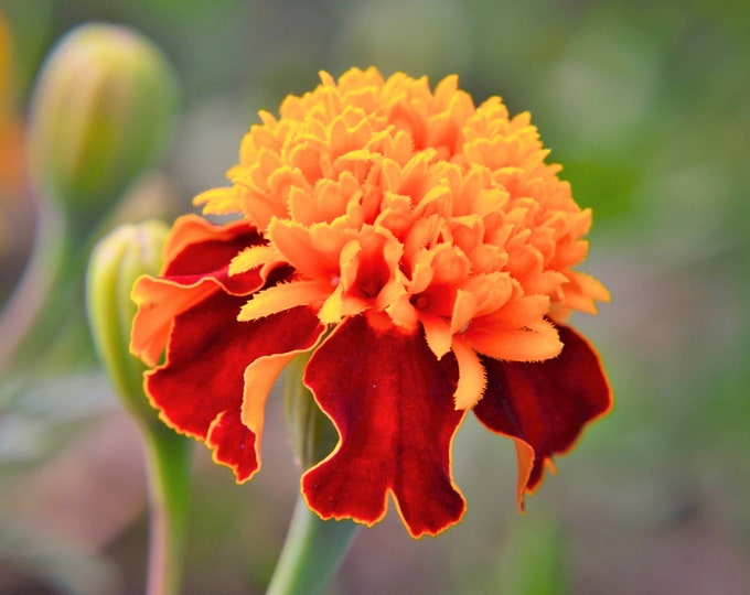 500 DWARF DOUBLE MARIGOLD ' Orange Flame ' Tagetes Patula French Red Flower Seeds