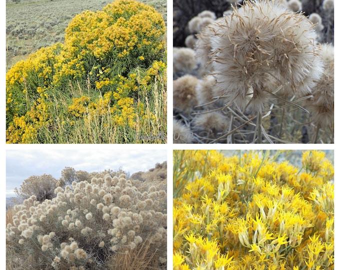 100 RUBBER RABBITBRUSH Chamisa Ericameria Nauseosa Native Desert Shrub Yellow Flower Seeds