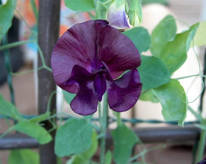 20 Royal MAROON SWEET PEA Lathyrus Odoratus Vine Dark Red Fragrant Flower Seeds