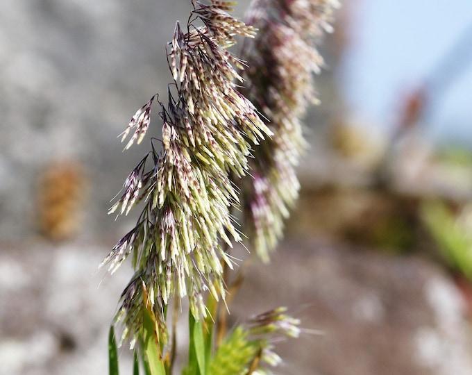 50 GOLDENTOP GRASS Toothbrush Grass Dog's Tail Golden Top Ornamental Seeds