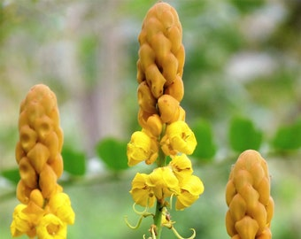 35 CANDLE BUSH Cassia Alata Senna Emperor's Candletree Empress Candlebush Candelabra Golden Ringworm Shrub Yellow Orange Flower Seeds