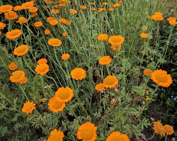 250 ORANGE MARGUERITE DAISY Anthemis Sancti-Johannis Cota Tinctoria St. John's Chamomile Dyer's Herb Paris Daisy Flower Seeds