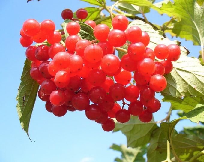 20 AMERICAN HIGHBUSH CRANBERRY Viburnum Trilobum Red Fruit White Flower Shrub Seeds *Flat Ship