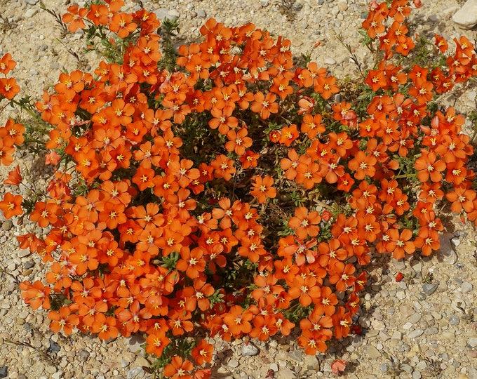 100 SCARLET PIMPERNEL (Adders Eyes) Anagallis Arvensis Flower Seeds