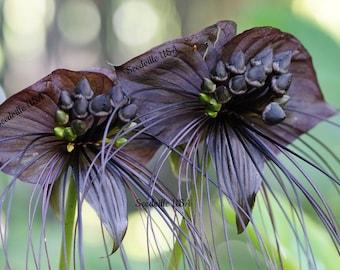 5 Black BAT FLOWER ( Cats Whiskers / Devil Flower ) Tacca Chantrieri Flower Seeds