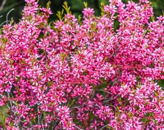 5 DWARF RUSSIAN ALMOND Prunus Tenella Rose Red Pink Fragrant Flower Shrub Seeds