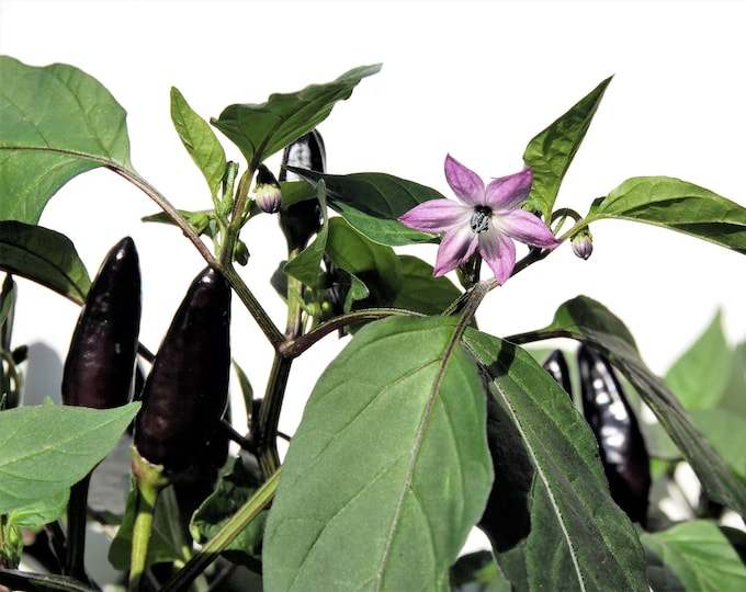 20 ROYAL BLACK PEPPER Capsicum Annuum Very Hot Chilli Vegetable Seeds *Flat Shipping