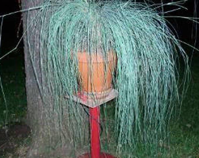 200 WEEPING LOVE GRASS Ornamental African Lovegrass Eragrostis Curvala Seeds *Flat Shipping
