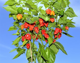 20 CAROLINA REAPER PEPPER World's Hottest Capsicum Chinense Hot Red Chili Vegetable Seeds