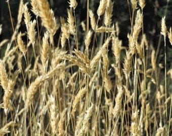 150 SWEET VERNAL GRASS Sweet Grass Vanilla Grass Anthoxanthum Odoratum Fragrant Vernalgrass Ornamental Craft Seeds