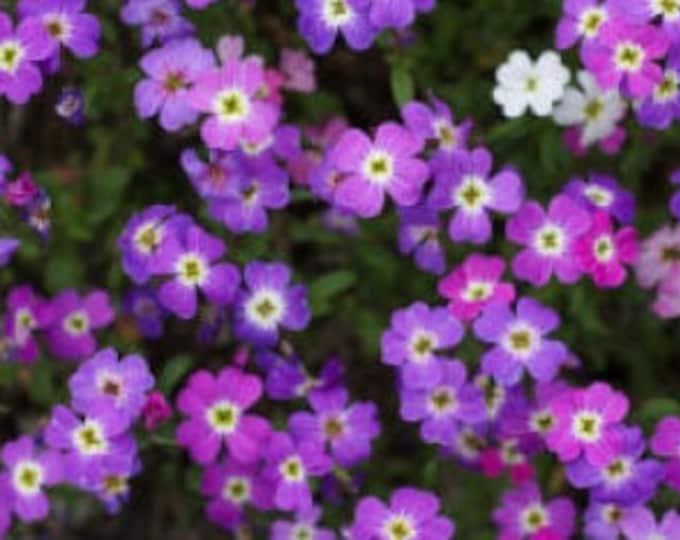 4000 VIRGINIA STOCK Malcomia Maritima Flower Seeds