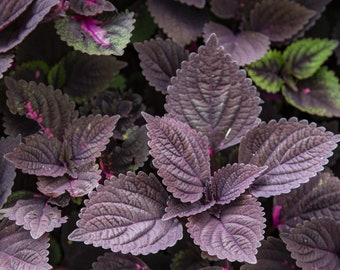 10 PALISANDRA BLACK COLEUS Giant Exhibition Solenostemon Scutellarioides Painted Nettle Blue Flower Seeds