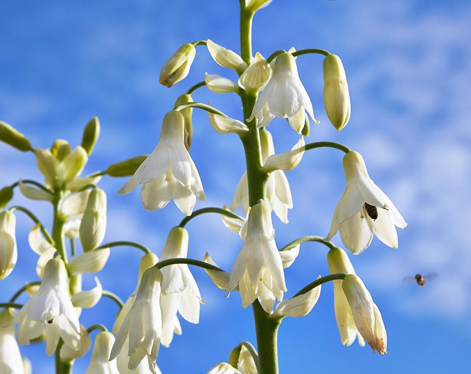 10 WHITE AFRICAN HYACINTH aka Cape or Giant Summer / Spire Lily - Ornithogalum Candicans / Galtonia / Hyacinthus Flower Seeds