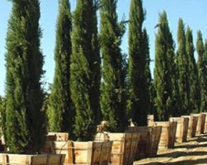 20 MEDITERRANEAN CYPRESS TREE Green Spire / Pencil Pine / Indian Cedar Seeds