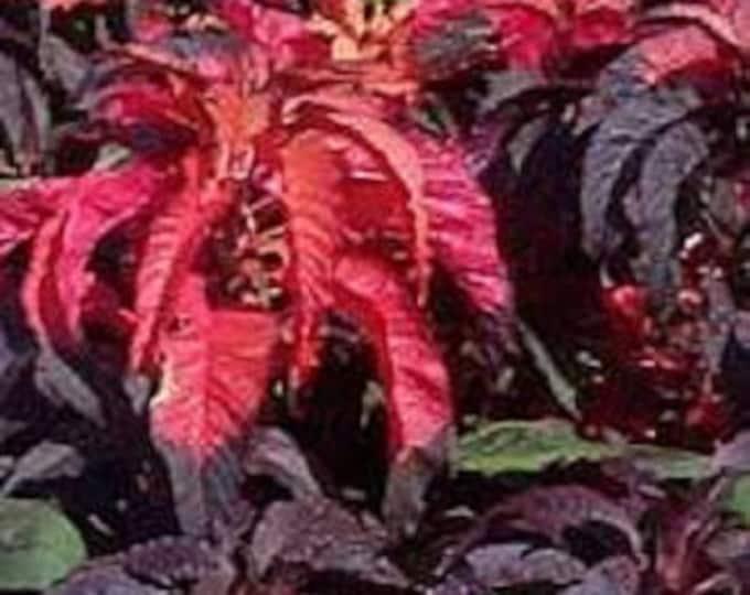 200 AMARANTHUS MOLTEN FIRE Amaranthus Gangeticus Flower Seeds
