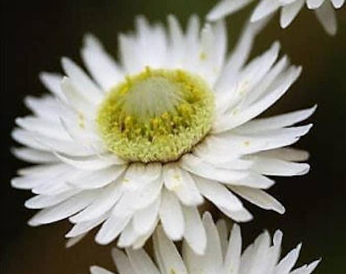 100 WHITE DOUBLE STRAWFLOWER Helichrysum Monstrosum Flower Seeds