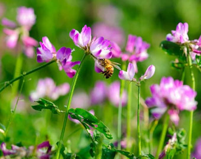 50 MILK VETCH Astragalus Sinicus Pink Purple Flower Ground Cover Legume Seeds