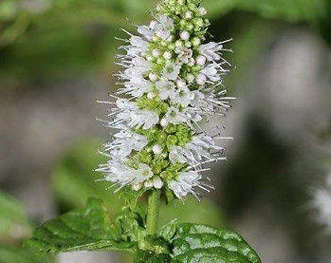 500 SPEARMINT (English Mint) Mentha Spicata Herb Flower Seeds