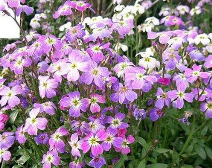 1000 EVENING (night) SCENTED STOCK Matthiola Bicornis Flower Seeds