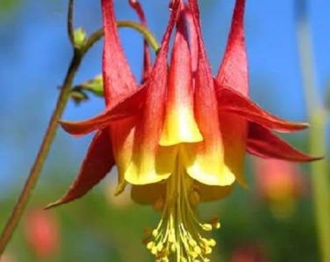100 WILD/ CANADIAN COLUMBINE Aquilegia Canadensis Flower Seeds
