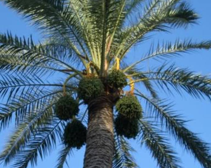 10 CANARY ISLAND Date PALM Phoenix Canariensis Tree Seeds *Comb S/H