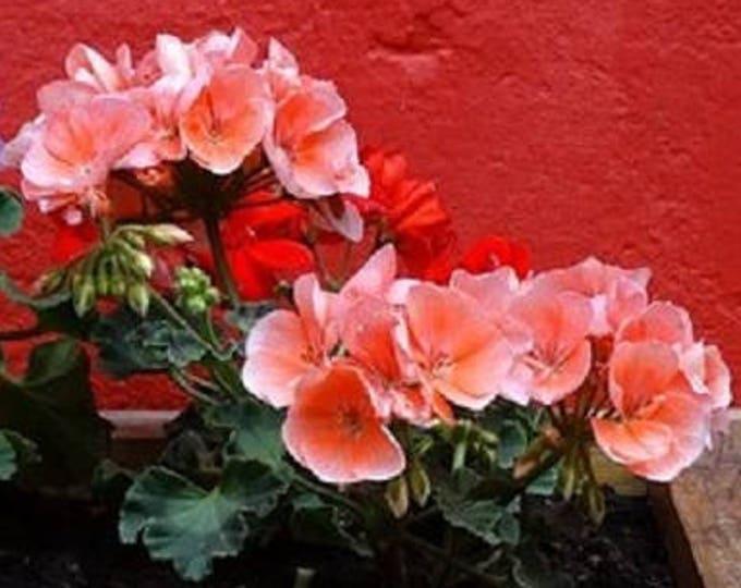 10 Horizon Deep SALMON GERANIUM Pelargonium Flower Seeds