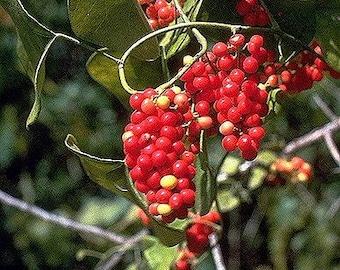 10 CAROLINA MOONSEED Snailseed / Coralbeads Flower Vine Cocculus Carolinus Seeds