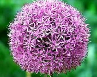 25 GIANT ALLIUM Allium Giganteum Purple Globe Flower Seeds *Comb S/H