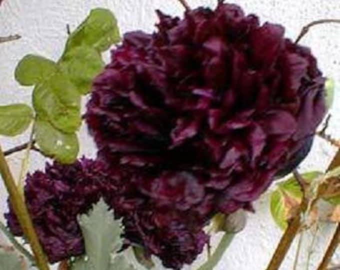 250 BLACK PEONY POPPY Papaver Peoniflorum Flower Seeds