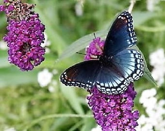 50 VIOLET BUTTERFLY BUSH Buddleia Davidii Purple Flower Seeds *Flat Shipping