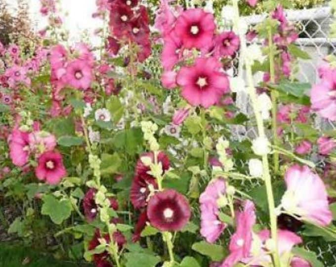 Alcea 50 Perennial Red Scarlet Hollyhock Flower Seeds