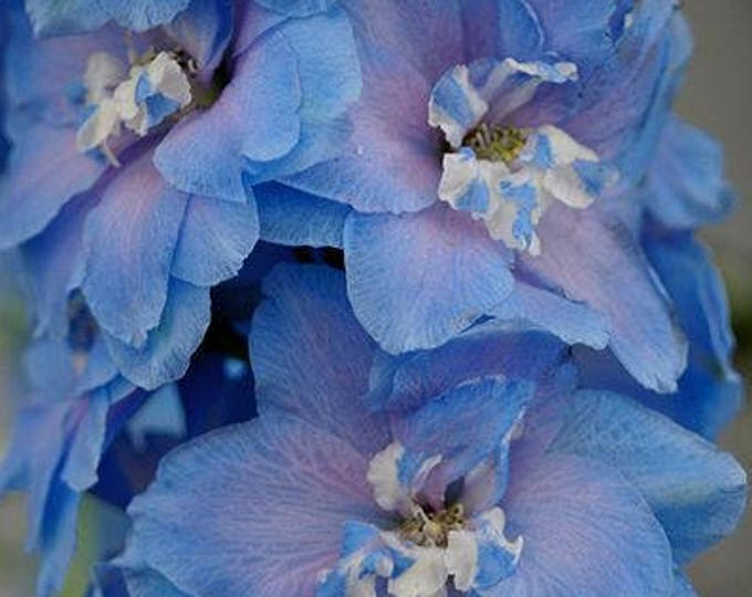 350 ROCKET LARKSPUR Blue & Pink MIX Delphinium Ajacis Flower Seeds